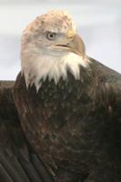 Raptor Weekend Bald Eagle