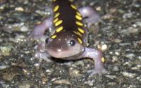 Spotted Salamander's  Mug