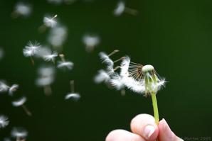 Dandelion Seeds Being Blown: Kid o info