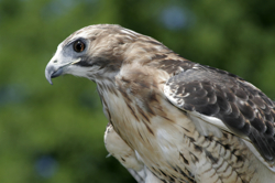Red Tailed Hawk #2 on kid o info
