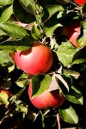 2008 09 Applesweb1