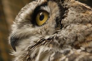owl-audubon