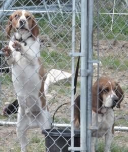 bonniedale-farm-dogs