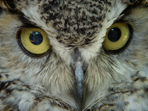audubon-great-horned-owl-2