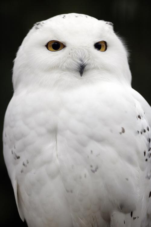 snowy_owl-audubon-owl