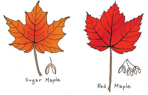 Maplecolor