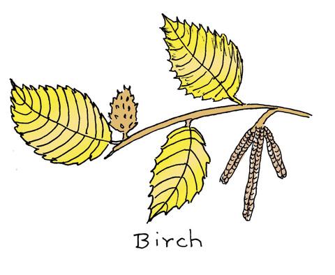 birchcolor