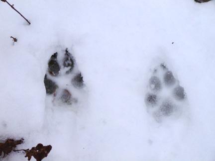 January-Photo---Fox-Tracks