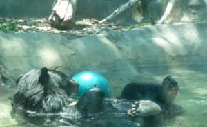 moon bear in pool 2
