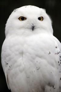 Snowy_Owl-web