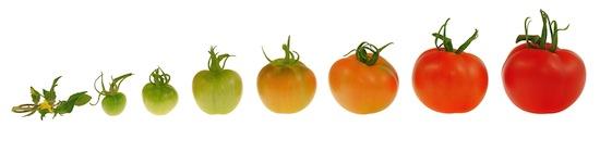 Tomatoes_Growing