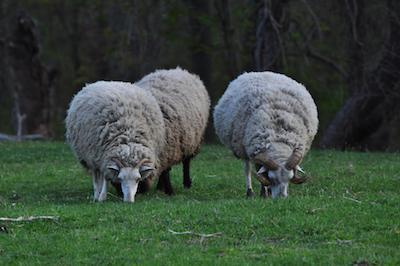 Three Sheep 400 x 266