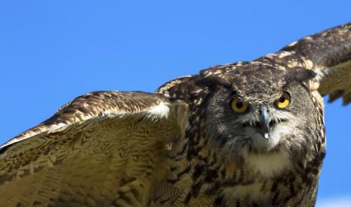 Audubon Raptor Weekend photo credit Heidi Piccerelli