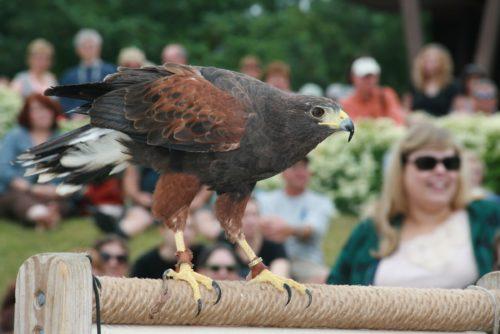 Harris's Hawk in Flight Presentation by Hope Foley (Taken at Raptor Weekend 2015)