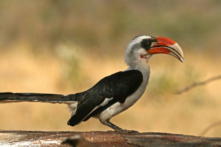 Von der Decken Hornbill at Roger Williams Park Zoo Rainforest exhibit