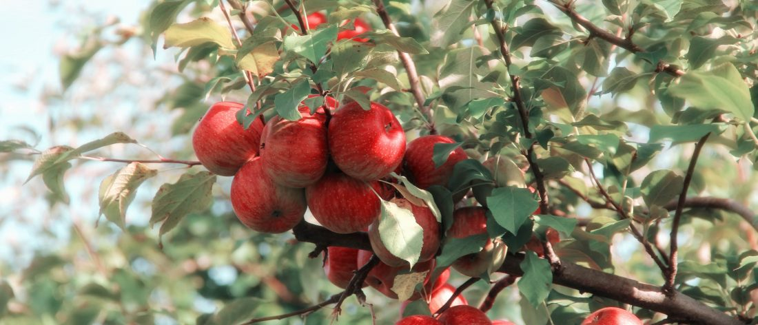 Pick your own apple tree